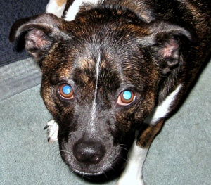 Loki (pitbull/boston terrier/chihuahua mix)